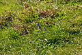 Bluebells near Peartree Point (3141).jpg