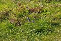 Bluebells near Peartree Point (3141).jpg