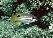 Bodianus albotaeniatus by NPS