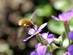 Bombylius major visiting flower.jpg