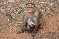 Bonnet Macaque (Female) 01.jpg