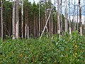 Boreal pine forest 10 years after fire, 2016-09.jpg