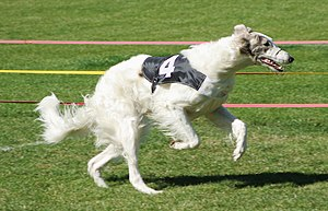 Borzoi - Borzoi as race dog