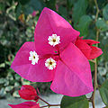 Bougainvilea bracts.jpg