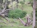 Bougainvillea glabra 'Magnifica' Choisy (AM AK290483-1).jpg