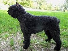 Bouvier Dog Breed Info
