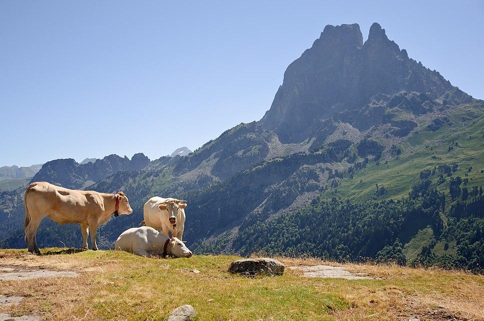 Bovins estive Pic du Midi Ossau