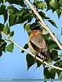 Brahminy Starling (Sturnia pagodarum) (45768613431).jpg