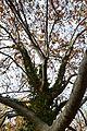 Branques d'una arbre de la ribera del riu Palància, Sogorb.JPG