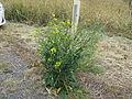 Brassica napus plant12 (14681122592).jpg