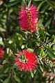 Bristly Blossoms (4556446878).jpg