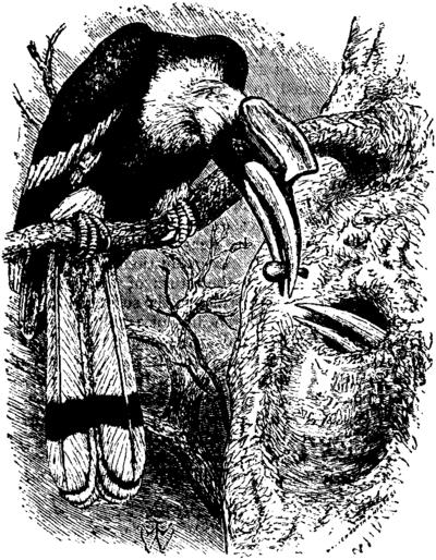 Indian Hornbill Drawing Great Indian Hornbill b