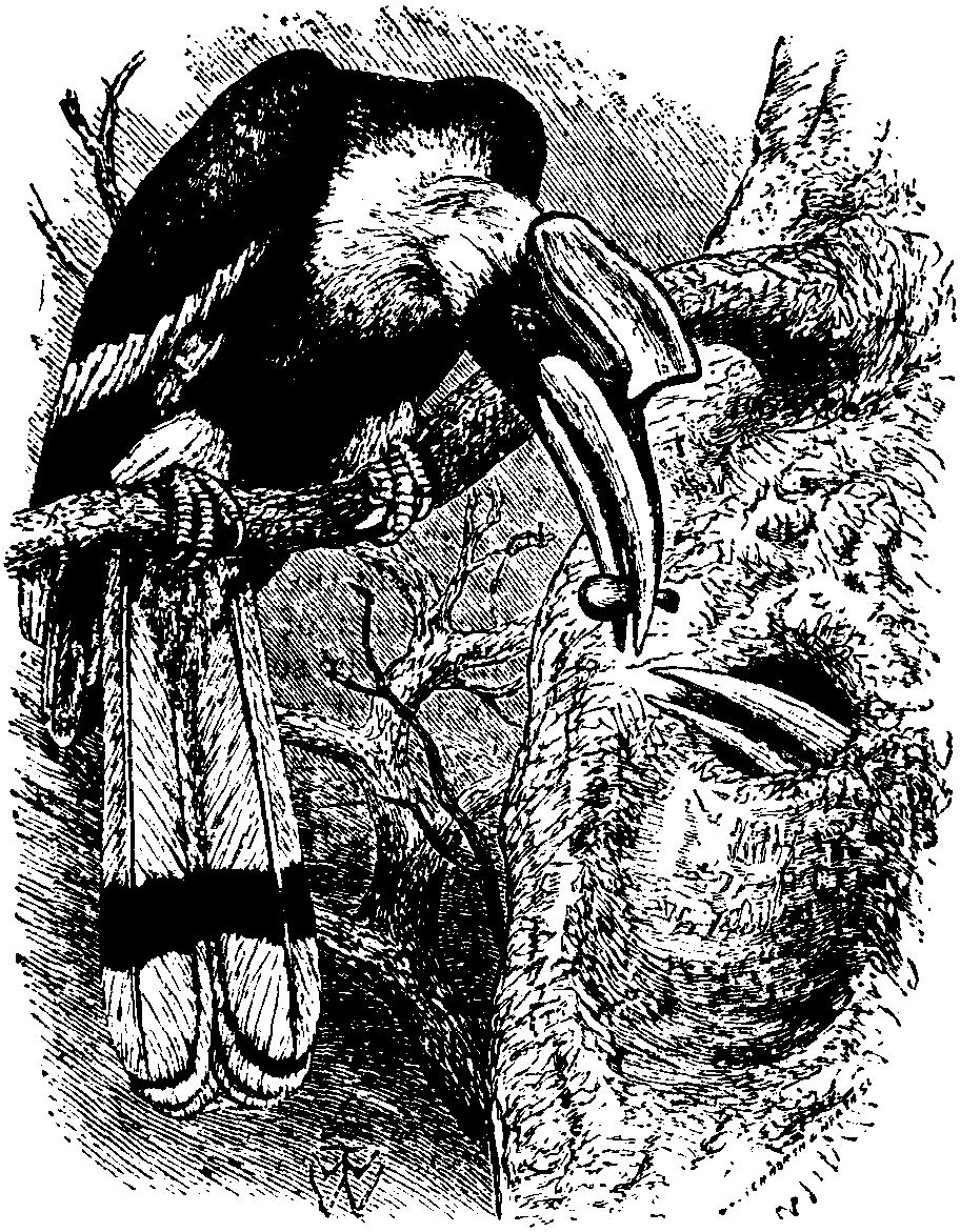 Britannica Hornbill Buceros bicornis