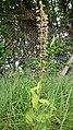 Broad-Leaved Helleborine public domain.jpg
