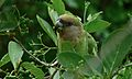 Brown-headed Parrot (Poicephalus cryptoxanthus) (6001313591).jpg