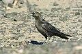 Brown-necked Raven - Merzouga - Morocco 07 3411 (22160964904).jpg