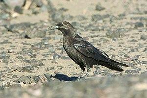 Brown-necked raven - Image: Brown necked Raven Merzouga Morocco 07 3411 (22160964904)