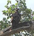 Brown Snake-eagle, Lake Manyara.jpg