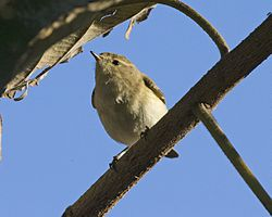 Brown Woodland Warbler.jpg