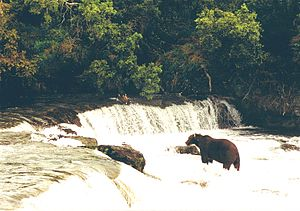 Brown bear at the Brooks Falls in Katmai Natio...