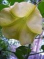 Brugmansia blossom, 2006.jpg