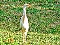 Bubulcus ibis ( Héron garde-bœufs ).jpg
