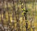 Budding leaves on redcurrant 1.jpg