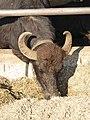 Bufale - Tenuta Vannulo - Capaccio 02.jpg