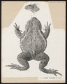 Bufo vulgaris - 1700-1880 - Print - Iconographia Zoologica - Special Collections University of Amsterdam - UBA01 IZ11500145.tif