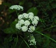 Bunium bulbocastanum.jpg