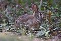 Bunny (44131444985).jpg