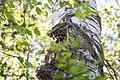 Buntspecht Dendrocopos major Nationalpark Donau-Auen Lobau Mai 2016 04.jpg