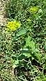 Bupleurum rotundifolium sl9.jpg