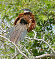 Burchell's Coucal (Centropus burchellii) (17331434722).jpg