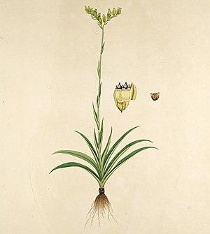Burmannia (plant) - Burmannia disticha