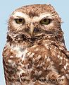 Burrowing owl - panoramio.jpg