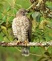 Buteo platypterus (Gavián aliancho) - Flickr - Alejandro Bayer (2).jpg