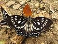 Butterfly Courtesan.jpg