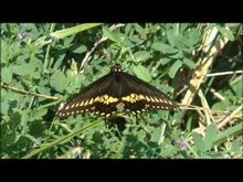 Tập tin:Butterfly Swallowtail.ogv