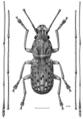 COLE Anthribidae Arecopais spectabilis m.png