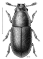 COLE Ciidae Cis zeelandicus.png