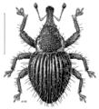 COLE Curculionidae Dermothrius ruficollis.png