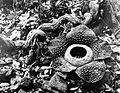 COLLECTIE TROPENMUSEUM Bloem van Rafflesia Tuan Mudae TMnr 10006214.jpg