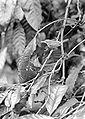 COLLECTIE TROPENMUSEUM Orthotomus sepium sepium bij het nest waarin jong van Cacomantis merulinus lanceolatus TMnr 10006539.jpg