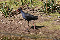 CSIRO ScienceImage 3473 Purple Swamp Hen Flinders Victoria.jpg