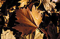 CSIRO ScienceImage 4459 Autumn leaves.jpg