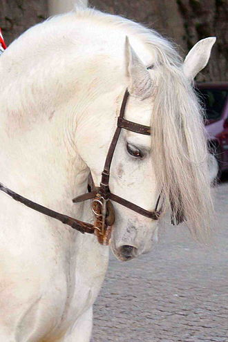 White (horse) - This horse is gray, not white. Its hair coat is completely white, but its underlying skin, seen around the eye and muzzle, is black.