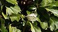 Cabbage White (10462194136).jpg