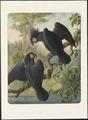 Cacatuidae - 1880 - Print - Iconographia Zoologica - Special Collections University of Amsterdam - UBA01 IZAA100033.tif