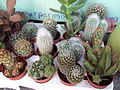 Cactus (1) in Neve Tzedek.jpg